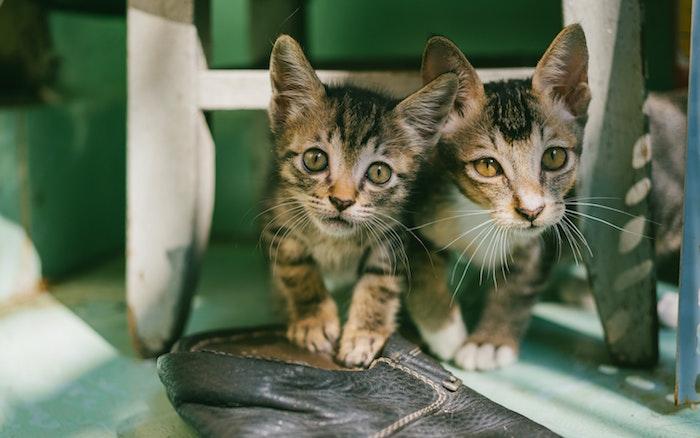 Kittens Pet Wellness Entry