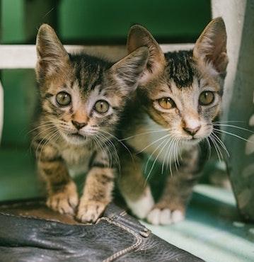 Kittens Pet Wellness