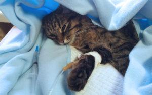 Emergencies in Cats